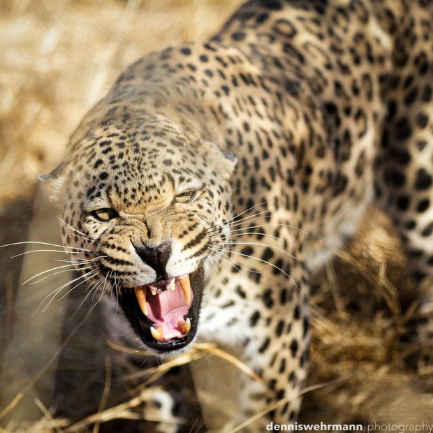 leopard at the okambara lodge namibia africa