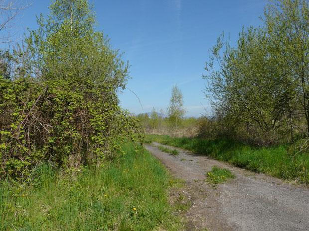 Brombeergestrüpp, und im Hintergrund Grossseggenriedbestand mit vereinzelten Birken und Pappeln