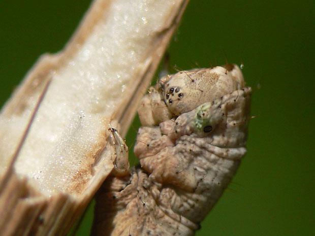 Punktaugen von Odontopera bidentata (Doppelzahnspanner)