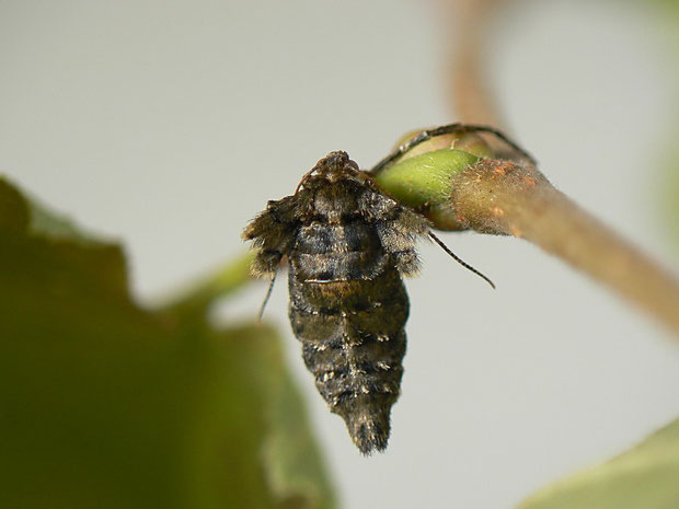 Agriopis aurantiaria (Orangegelber Breitflügelspanner) (Weibchen)