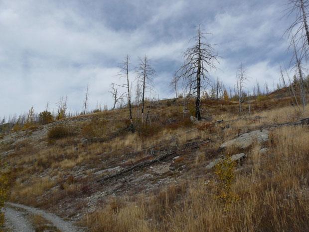 Hohwald im oberen Bereich mit verkohlten Lärchen im Herbst 2016