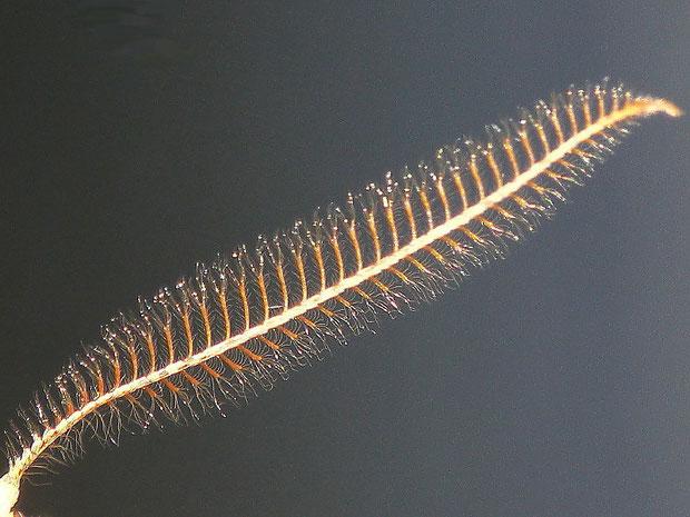 Agriopis aurantiaria (Orangegelber Breitflügelspanner) (Männchen)