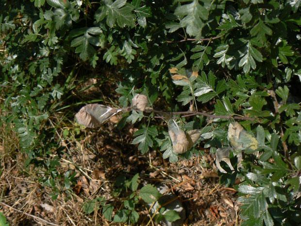 Gespinste von Aporia crataegi, welche im Herbst, wenn die Blätter verdorren, kaum mehr zu sehen sind. Diese Raupengespinste überwintern am Weissdorn. Wer den Falter gerne sieht, sollte die Gespinste im Herbst oder Frühling nicht entfernen.