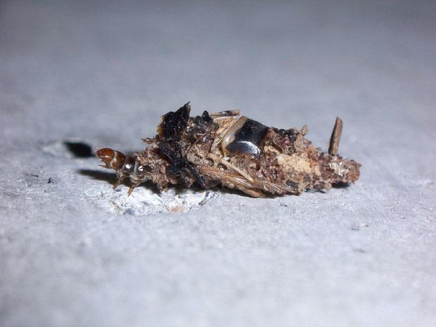 Raupe mit Sack (Diplodoma laichartingella) (Psychidae - Sackträger-Art)