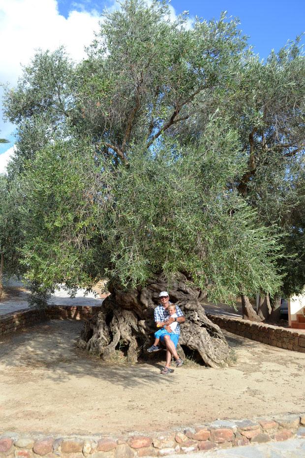 3000-летняя олива в Ано Вувес. Из ее ветвей в 2004 году делали венки олимпийским победителям.