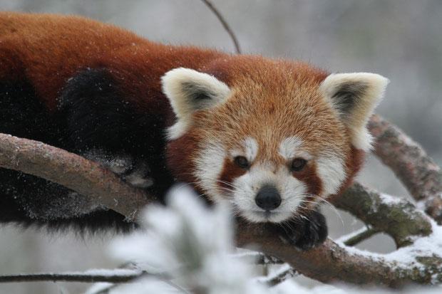 Kleiner Panda Zoo Zürich