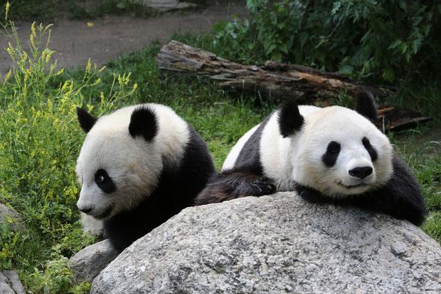 Grosser Panda Tiergarten Schönbrunn