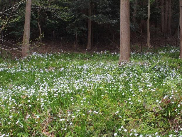 シャガの大きな群生 :珍しくもない花ですがこうも大きな群生って圧巻です。