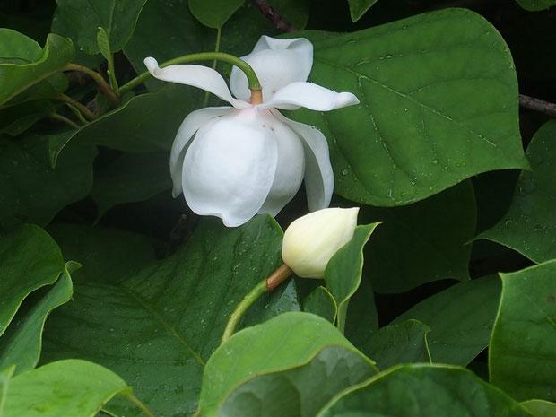 山頂直前のオオヤマレンゲ・・・つぼみと開花中の花はまだ少し先までもてなしてくれそう。