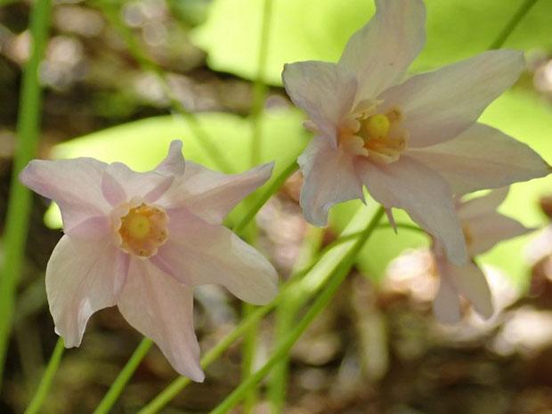 ショウマも色々見てきたが、この花の雰囲気は格別です。