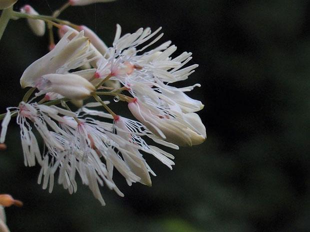 タケニグサはもうお終いながら、大きな草木ながら繊細な花が魅力です。