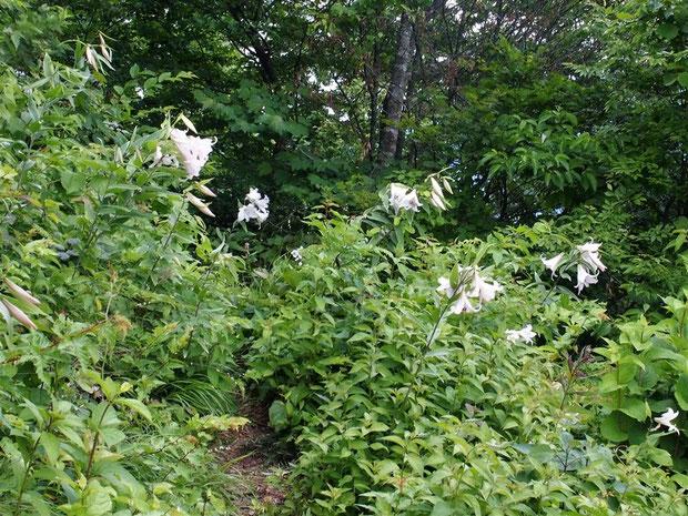 山頂の西斜面に群生するユリが豪勢にも一斉に咲いています。