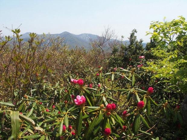 山頂手前・・・まだつぼみのシャクナゲの先に丈較南峰と浄法寺山