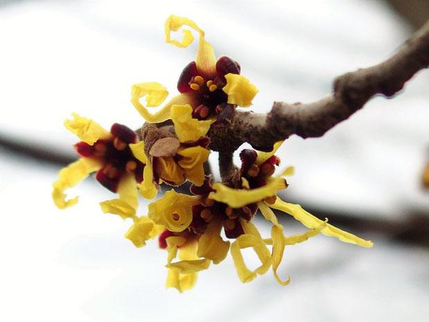 マンサクが一本だけ咲いていた。                                   ここは文殊山でも早咲きマンサクがあるところです。ほかの場所はまだまだのようです。
