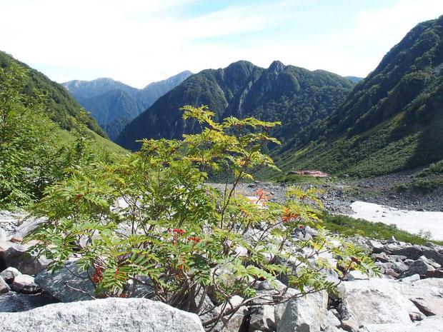 名物の涸沢紅葉の主役ナナカマド:実(み)は色づき始めたが葉っぱはまだ青いですね。