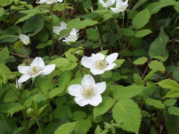 クサイチゴ :大きな美しい花をつけます。近くの山であんまり見かけませんね。