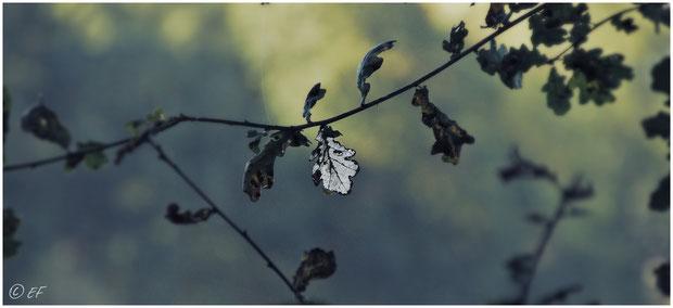 Das silberne Eichenblatt