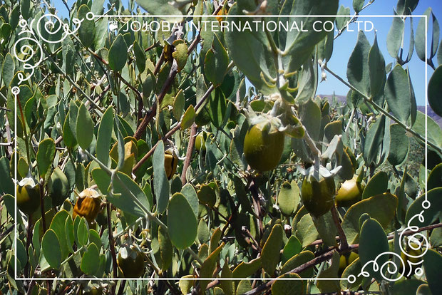 ♔ SMART POWER PLANT JOJOBA SEED ORIGINAL SPECIES