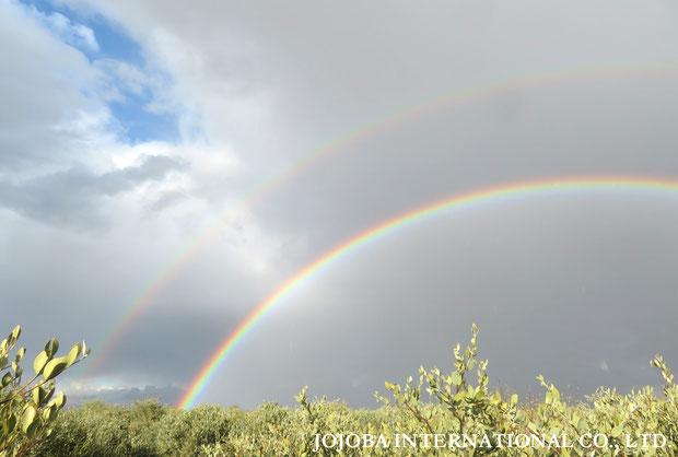 ♔ アリゾナ州ハクアハラヴァレー原種ホホバ農園