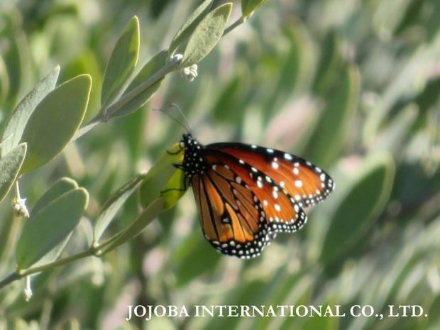 ♔ Queen (butterfly)