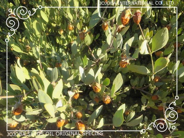 ❦ ホホバ自生地 アリゾナ州ハクアハラバレー原産 原種ホホバの実