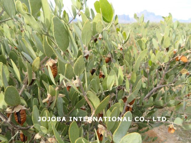♔ ホホバの美しいグリーンカラーの葉と黄金色の原種ホホバ種子