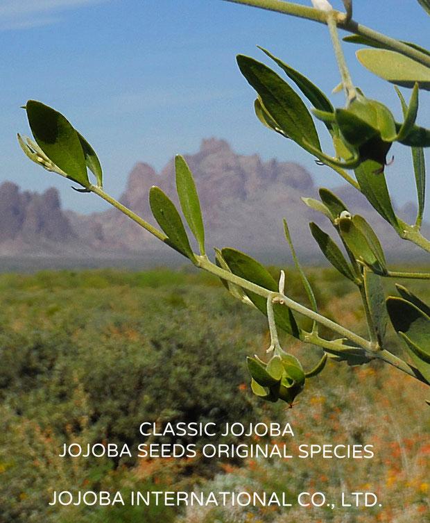 ♔ CLASSIC JOJOBA  * JOJOBA SEEDS ORIGINAL SPECIES アリゾナ州原産原種ホホバ(純粋種Sayuri原種ホホバ)環境保護区域イーグルテールマウンテンを臨んで, Orange Desert Globemallow, Desert Marigold Native Wildflower, Brittlebushと共に