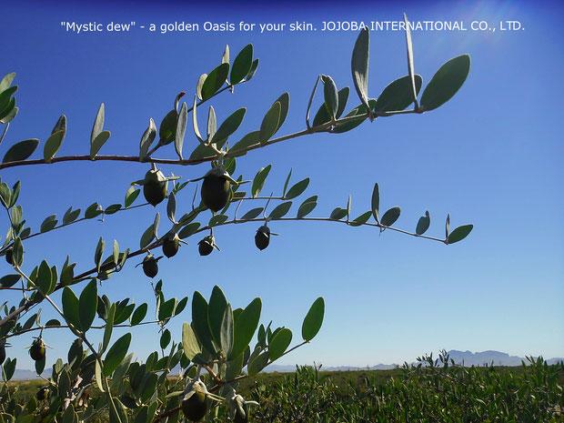 ❦ アリゾナ州原産原種ホホバ(純粋種Sayuri原種ホホバ)雌・Queenの灌木と実(5月撮影)