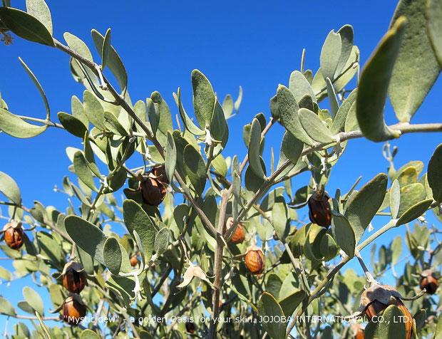 ♔ アリゾナ州原産原種ホホバ(純粋種Sayuri原種ホホバ)の灌木と実(雌・Queen)(1月撮影)