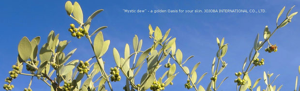 ❦『天使のホホバ』 私達のホホバは、古代にホホカム族が定住農業をしていたと云われるアリゾナ砂漠の広大な大地アリゾナ州ハクアハラバレーで生長する、アクアカリエンテの美のマジック鉱泉で潤った高品質を誇るアリゾナ州原産の神秘の植物極上ゴールデン原種ホホバオイル『ホホゴールド』です。政府の環境保護区域側のイーグルテール山の麓でアリゾナ州原産の原種ホホバ(純粋種Sayuri原種ホホバ)が生長しています。