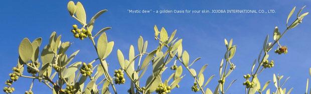 ♔ 『天使のホホバ』 私達のホホバは、古代にホホカム族が定住農業をしていたと云われるアリゾナ砂漠の広大な大地アリゾナ州ハクアハラヴァレーで生長する、アクアカリエンテの美のマジック鉱泉で潤った高品質を誇るアリゾナ州原産の神秘の植物極上ゴールデン原種ホホバオイル『ホホゴールド』です。政府の環境保護区域側のイーグルテール山の麓でアリゾナ州原産の原種ホホバ(純粋種Sayuri原種ホホバ)が生長しています。