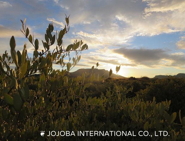 ♔ 大地と大空に向かって『 祈りのホホバ 』原種ホホバとタートルバックマウンテン 於:アリゾナ州ハクアハラヴァレー