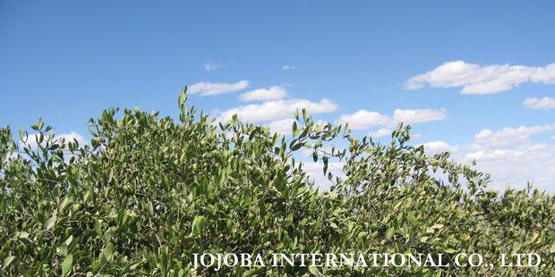 ♔ 神秘の植物 原種ホホバ(純粋種Sayuri原種ホホバ)雌・Queen