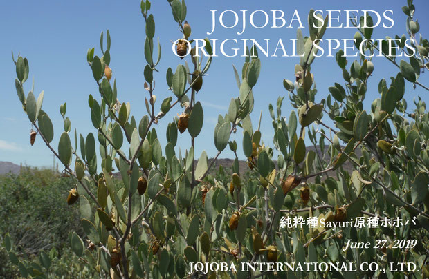 ♔ JOJOBA SEEDS ORIGINAL SPECIES 2019