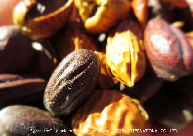 ♔ アリゾナ州原産原種ホホバ種子  JOJOBA SEEDS ORIGINAL SPECIES (純粋種Sayuri原種ホホバ)