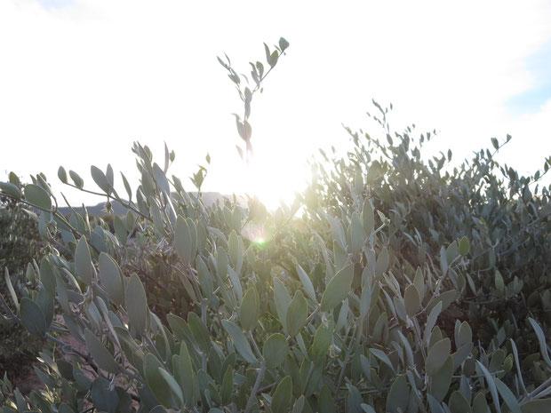 ❦ ホホバ(原種)のお写真 Growing Jojoba♥掲載しています❣ 文責・写真撮影 by 渡邊さゆり