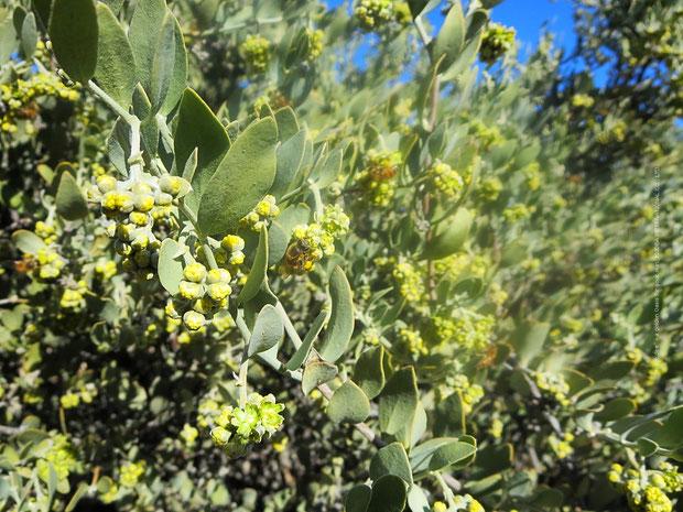♔ 神秘の植物 原種ホホバ(純粋種Sayuri原種ホホバ)のお花(雄・King)とミツバチ