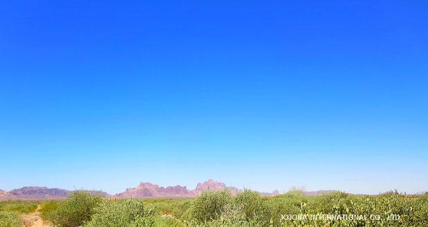 ❦ アリゾナ州ハクアハラバレー原産原種ホホバと環境保護区域のイーグルテールマウンテン