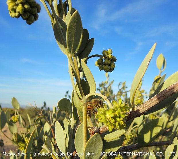 ♔ アリゾナ州原産原種ホホバ(純粋種Sayuri原種ホホバ)雄・Kingとミツバチ(1月撮影)