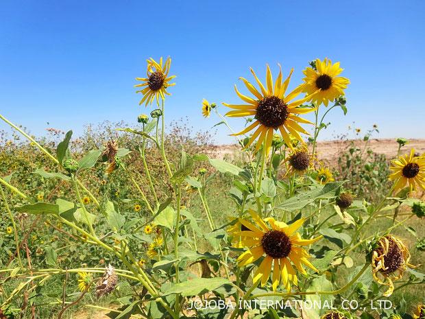 ♔ 原種ひまわり 於: アリゾナ州ハクアハラヴァレー