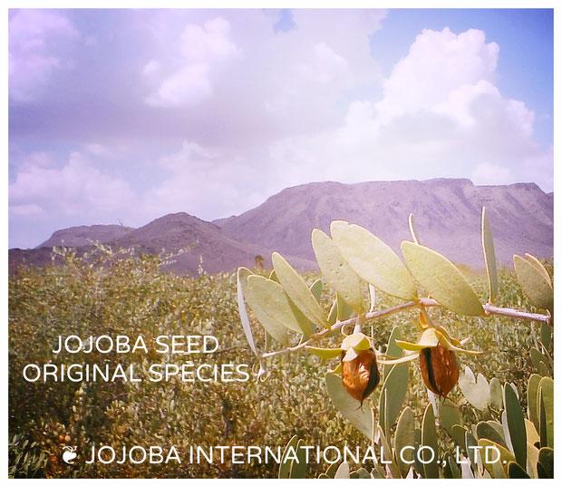 ♔ 私達のホホバは、無農薬(除草剤フリー、殺菌剤フリー)、NON GMO(遺伝子組み換えではない)、クローン種ではない、配合種や品種改良をしていない100%ナチュラルの原種ホホバ JOJOBA ORIGINAL SPECIES です。