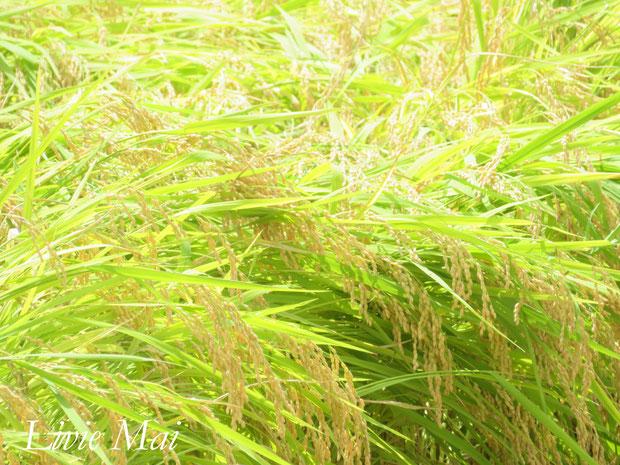 ♔ 原種ホホバ肥料で育てましたりびえ米が実りました。是非、ご賞味下さいませ。