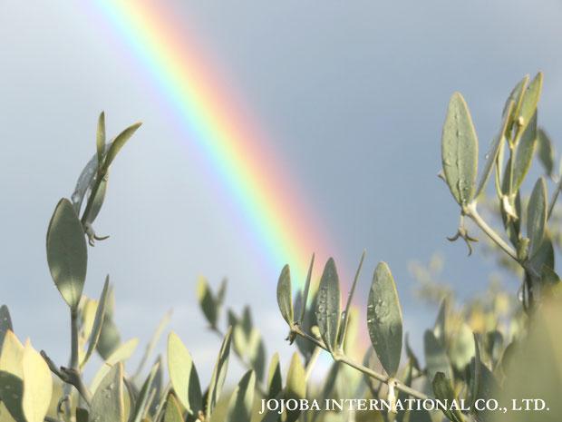 ♔ 原種ホホバ 虹