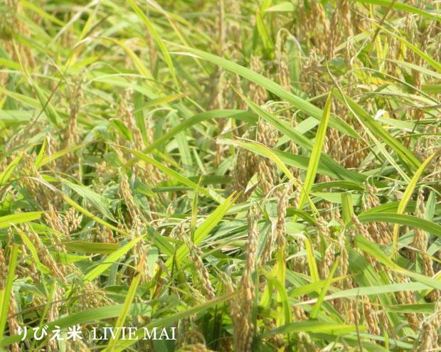 ♔ 本年度産新米りびえ米、実りました。つや・粘り・甘みの高いりびえ米です。是非、ご賞味下さいませ。