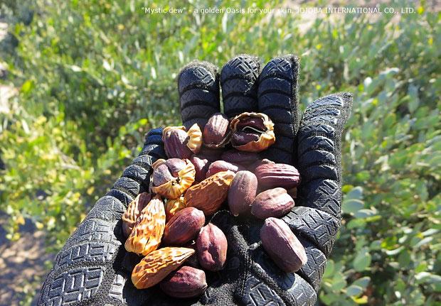 ♔ 私たちも新年早々に神秘の植物 原種ホホバ灌木(純粋種Sayuri原種ホホバ)に残っている神秘の植物 原種ホホバを収穫して来ました♪