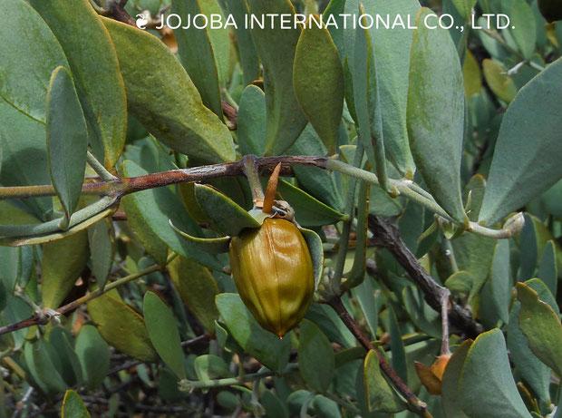 ♔ 神秘の植物 原種ホホバ種子(純粋種Sayuri原種ホホバ)雌・Queen