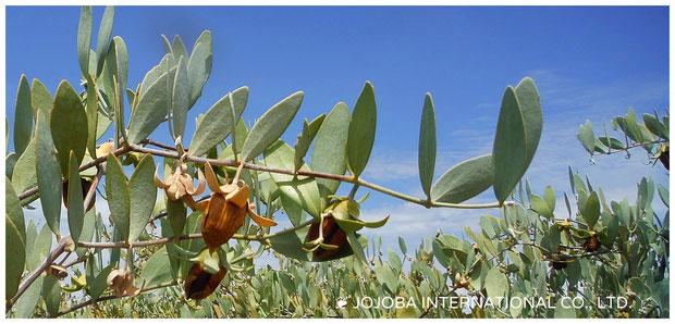 ♔ 2018年度産 原種ホホバ種子(純粋種Sayuri原種ホホバ)が実りました。栽培地: アリゾナ州ハクアハラヴァレー ♛ 政府の環境保護区域側のイーグルテール山の麓で世界遺産グランドキャニオンの自然浸食によって流れ来るコロラド川の豊富な天然ミネラル成分を含む灌漑用水と褐藻のオーガニック肥料で直営栽培しています。ホホバ種子は丁寧に手摘みで収穫致します。