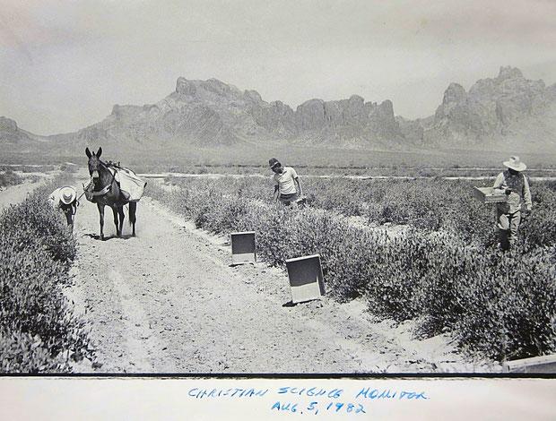 ♔ オブライエンズ氏による神秘の植物原種ホホバ栽培管理(私達のホホバ灌木はアリゾナ州原産原種ホホバ種子から育てました実生苗です)於:アリゾナ州ハクアハラヴァレー原種ホホバプランテーション 1982年8月