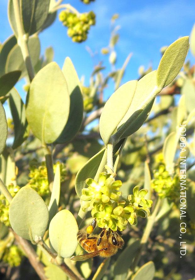 ♔ ハクアハラ蜜蜂が神秘の植物 原種ホホバ(純粋種Sayuri原種ホホバ)のお花(雄・King)の蜜に飛び交っていました