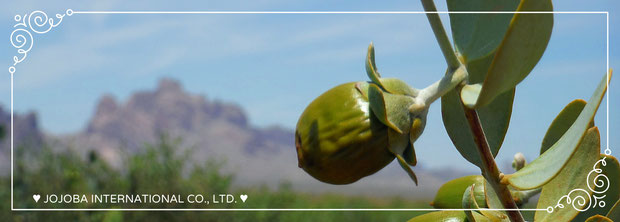 ❦ 環境保護区域イーグルテールマウンテンの麓で育つホホバ原種種子